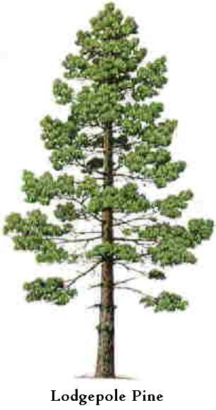 lodgepole pine tree graphic